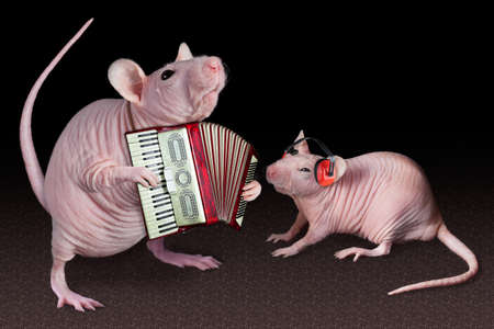 A dwarf hairless rat is playing his accordion for a friend. Stok Fotoğraf