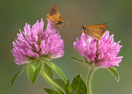 Two skippers are sitting on clover.