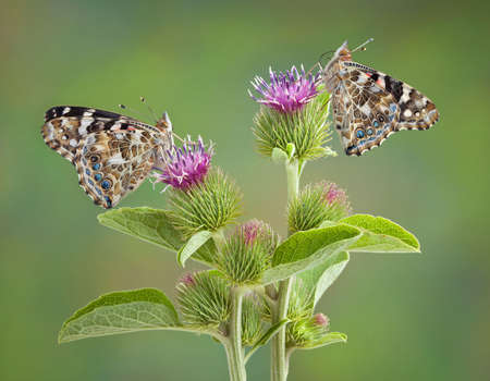 Two painted lady butterflies are perched on a flowering burr plant.