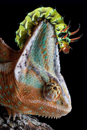 A Hickory Horned Devil caterpillar is crawling on a chameleons head.
