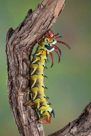 A Hickory Horned Devil caterpillar is crawling on a branch.
