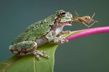 A baby grey tree frog has captured a grasshopper and is eating it. Imagens
