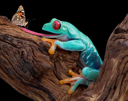 A red-eyed tree frog is sticking out his tongue to trap a curious butterfly. 免版税图像