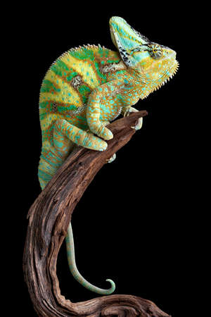 A male veiled chameleon named Chewy is resting on some driftwood.