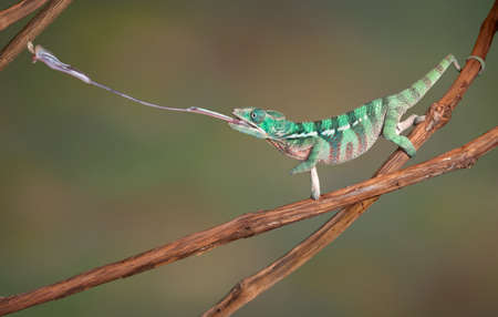 A baby Ambilobe Panther Chameleon is shooting out his tongue to catch a cricket. Stock Photo