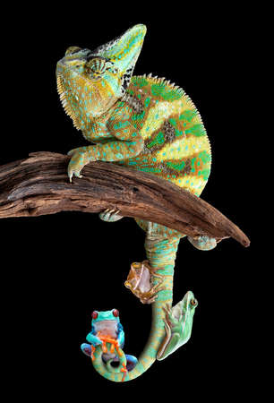 A male veiled chameleon named Chewy has three tree frogs attached to his tail.