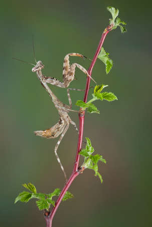 A budwing mantis nymph is climbing a budding plant. Stock fotó