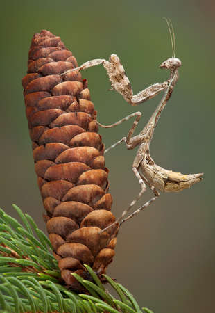 Betty, the budwing mantis is climbing a pine cone. Stock fotó