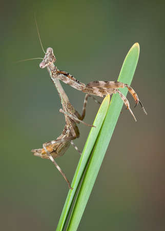 Betty, the budwing mantis is resting on a plant near a pond.