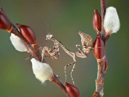 A budwing mantis nymph is resting between two pussy willow branches.