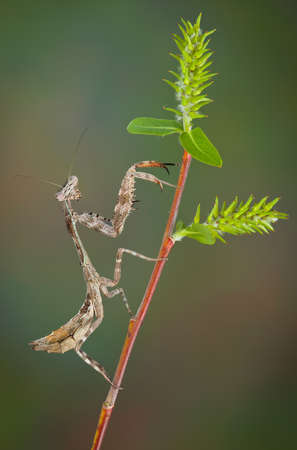 Betty, the budwing mantis is posing on a prickly plant. Stock fotó