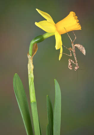 A dead leaf mantis nymph is hanging from a daffodil.