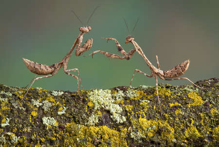 Two dead leaf mantis nymphs are playing with each other. Stock fotó
