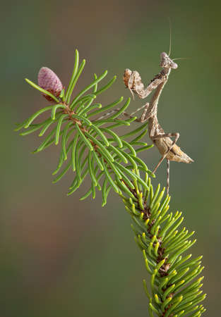 Betty, the budwing mantis is sitting on a pine branch.
