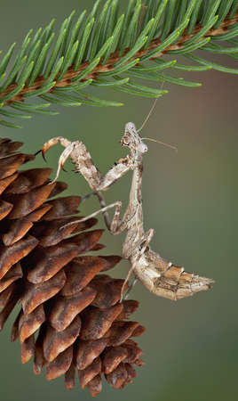 A budwing mantis is sitting on a pine cone.