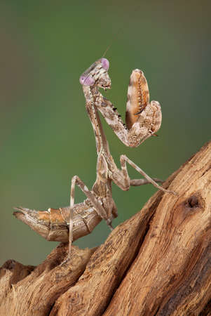 A female budwing mantis nymph is climbing on some weathered wood. Stock fotó