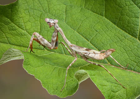 A female budwing mantis is climbing on a large green leaf.