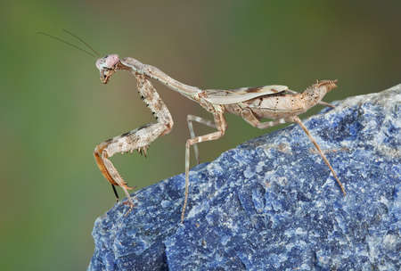 A female budwing mantis is climbing on a large blue rock.