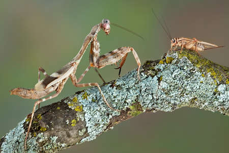 A female budwing mantis has spotted a cricket.