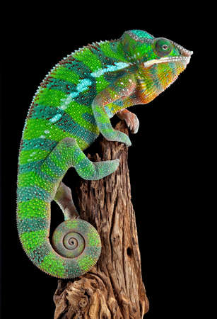 A ambilobe panther chameleon male is perched on a piece of drift wood.