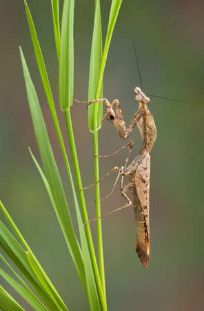 An adult dead leaf mantis male is perched on some grass.