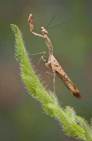 An adult dead leaf mantis male is perched on a spiny leaf.