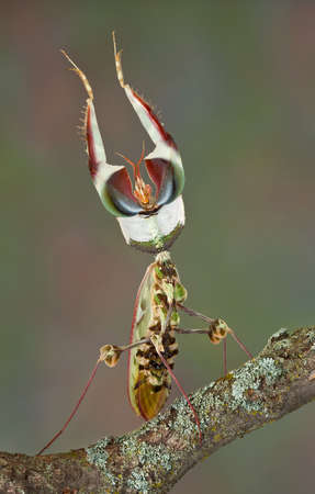 An adult idolomantis male is shown in his threat display.