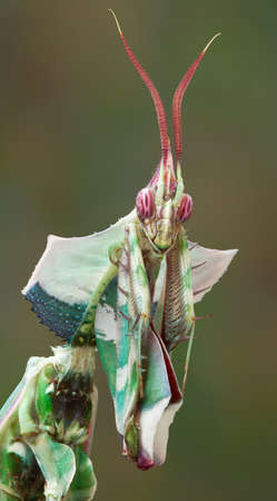 An adult male idolomantis is looking into the camera. 免版税图像