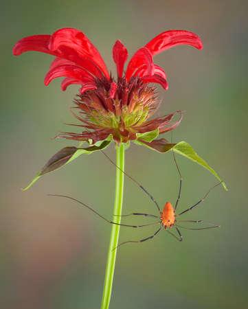 パパ長い脚のクモは、蜂香油花からぶら下がっています。