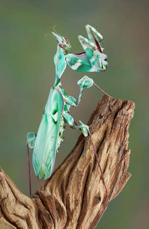 A female idolomantis diabolica is standing so her back can be seen. Stock Photo