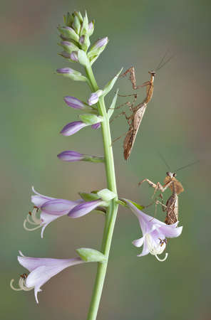 Two dead leaf mantids are climbing on some purple flowers.