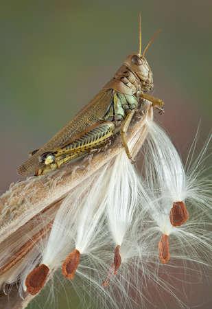 A grasshopper is sitting on a milkweed pod.