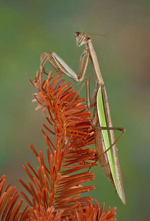 A praying mantis is perched on a dead evergreen branch.