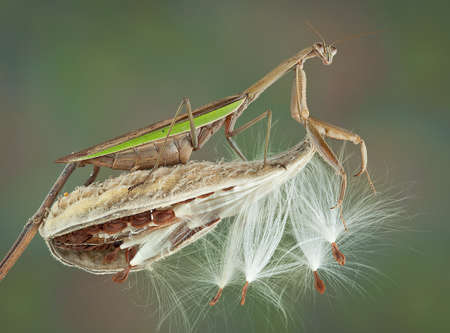 A praying mantis is climbing on a milkweed pod.