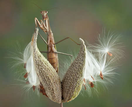 A praying mantis is perched on a milkweed pod