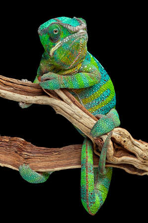 A panther chameleon has wrapped himself around a branch. Stock Photo