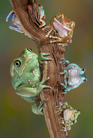 Many varieties of tree frogs are sitting together on a brach. From bottom left to bottom right - waxy monkey tree frog, red-eyed tree frog, big-eyed tree frog, whites tree frog, gray tree frog  Stock Photo