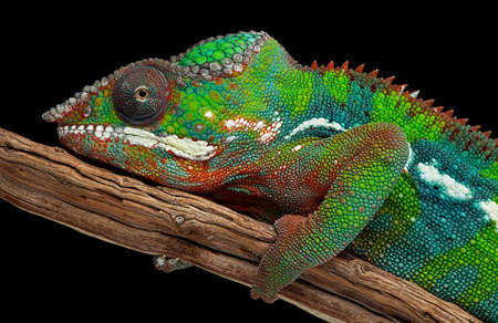 A colorful male panther chameleon is resting on a branch.