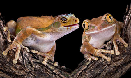 A golden tree frog has the head of a leopard gecko and his friend can Stock Photo