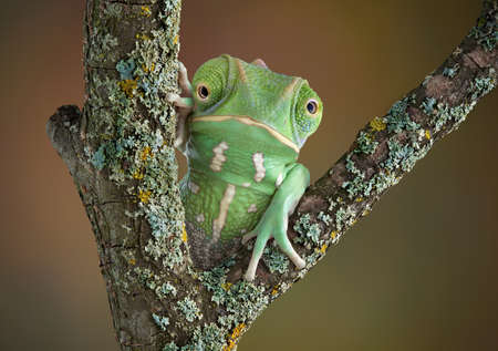 A waxy monkey tree frog is sitting on a branch and seems to have the head of a chameleon.