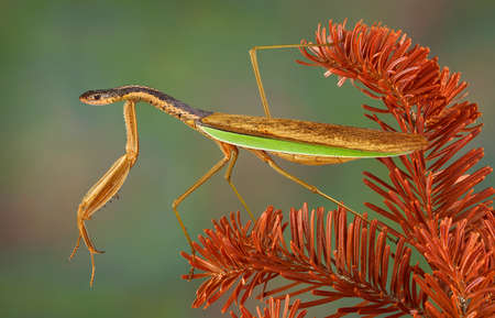 A praying mantis is perched on a dead evergreen branch and appears to have the head and neck of a snake. Stock Photo