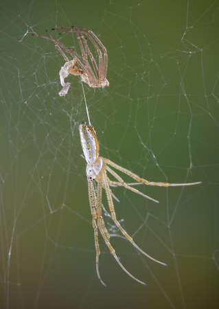 An argiope spider just shed her skin. Stock Photo