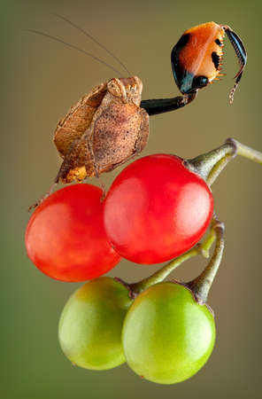 A boxer mantis nymph is shown raising his claw in a display that sometimes looks like he is boxing. He is sitting on night shade berries and is very tiny.