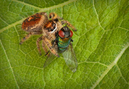 A tiny female jumping spider has caught a fly while sitting on a leaf.