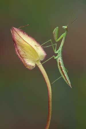 사마귀 요정은 나팔꽃 꽃 봉오리에 자리 잡고있다.