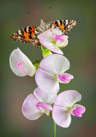 A painted lady butterfly is perched on a sweet pea plant and is looking at the camera.