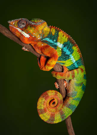 A panther chameleon is resting at night and is displaying rich colors that he normally would not display during the day.