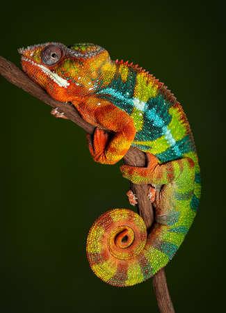 Un caméléon panthère se repose à la nuit et l'affichage des couleurs riches qu'il ne serait normalement pas afficher pendant la journée. Banque d'images - 43855557