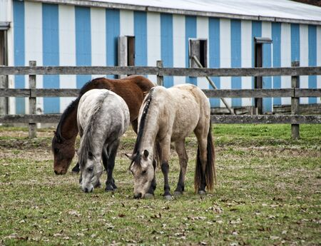 Three horses grazing in the pasture. photo