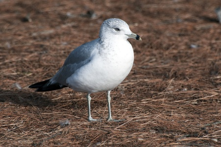 A sea gull standing on pine needle covered ground Stock Photo - 12814524